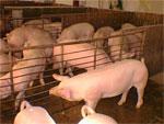 Cerdos Puercos